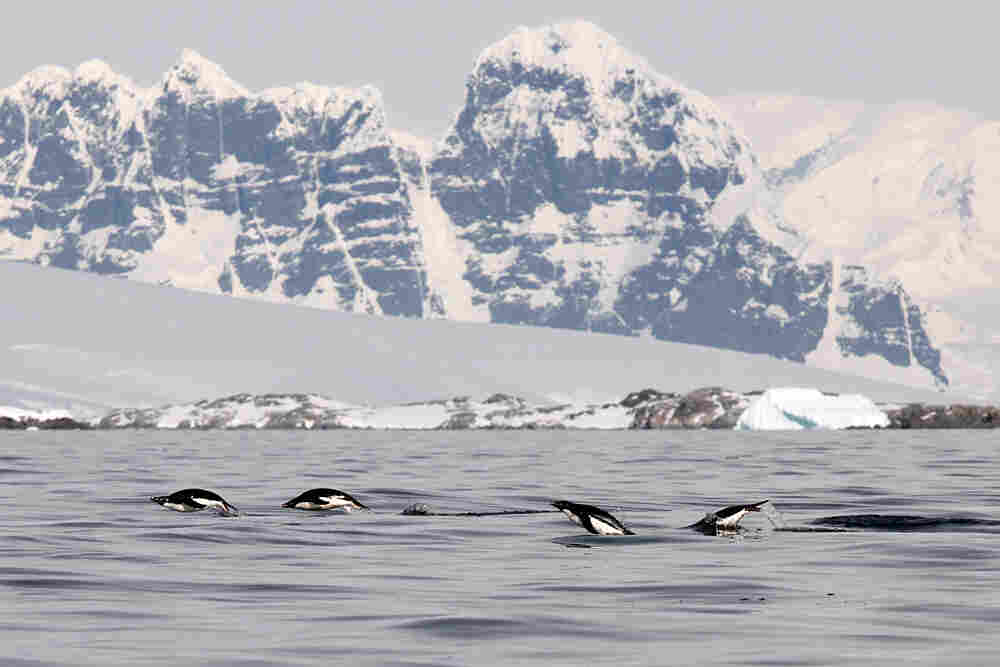 Adelie penguins.