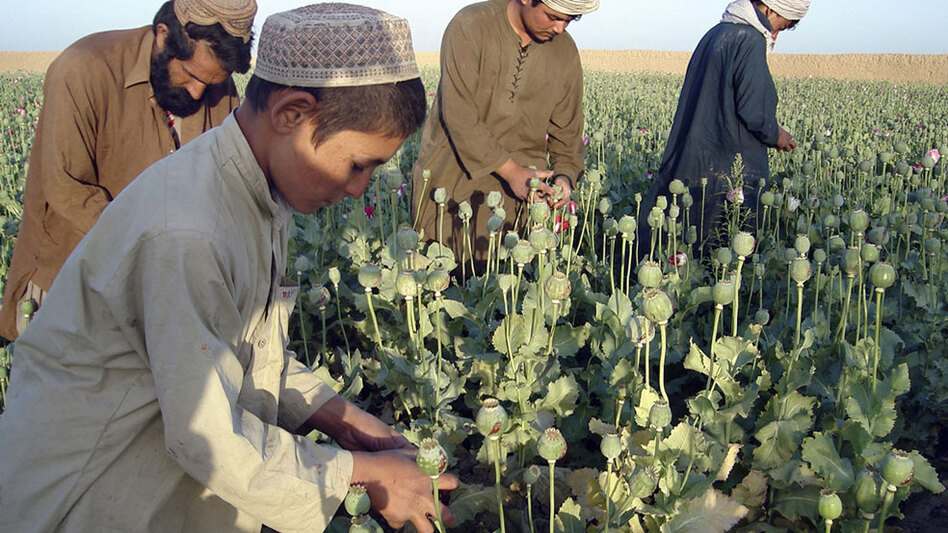 Afghan farmers work in opium poppy fields in Nawa district of Helmand province, south of Kabul, Afghanistan in April 2009.
