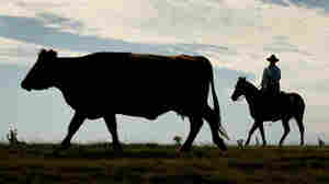 Rancher rounds up cattle.