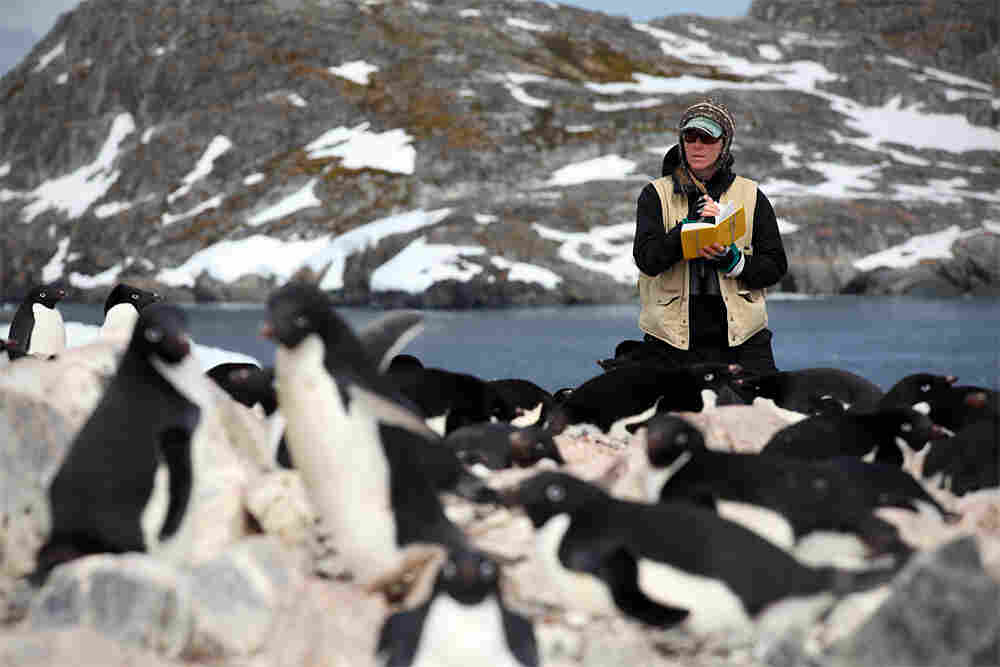 A researcher counts penguins and nests.