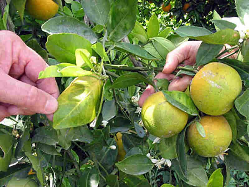 Infected Oranges In Florida