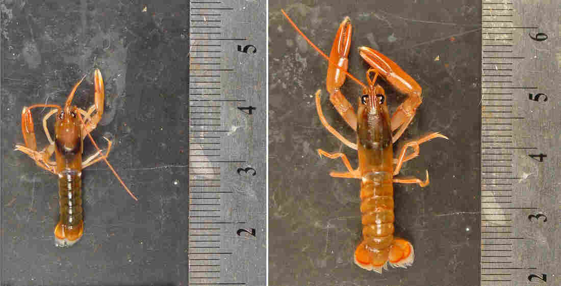 A comparison of lobsters. Courtesy Justin Ries