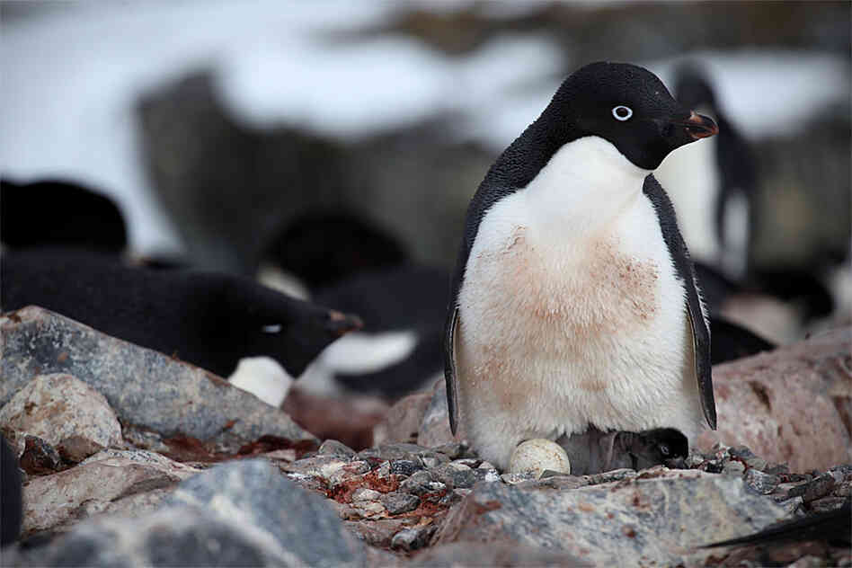 A mother penguin with her chicks.