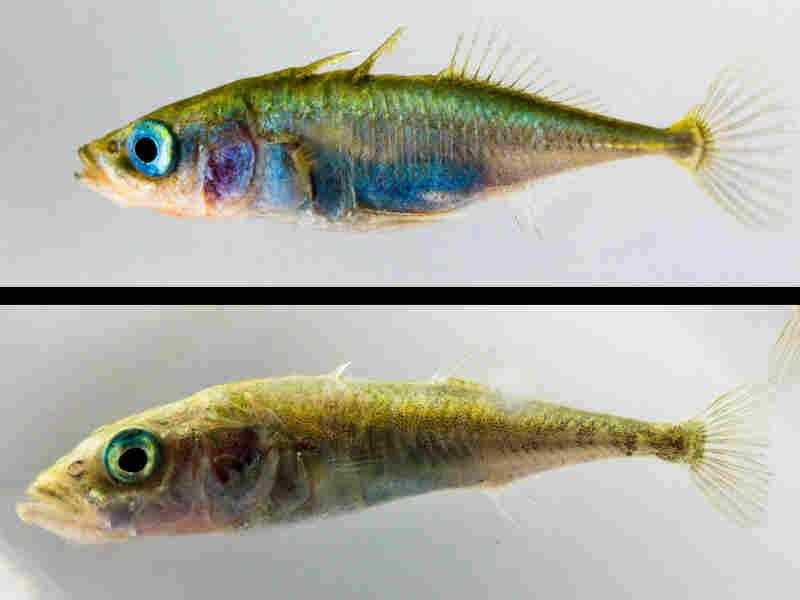 Marine stickleback fish compared with freshwater stickleback.