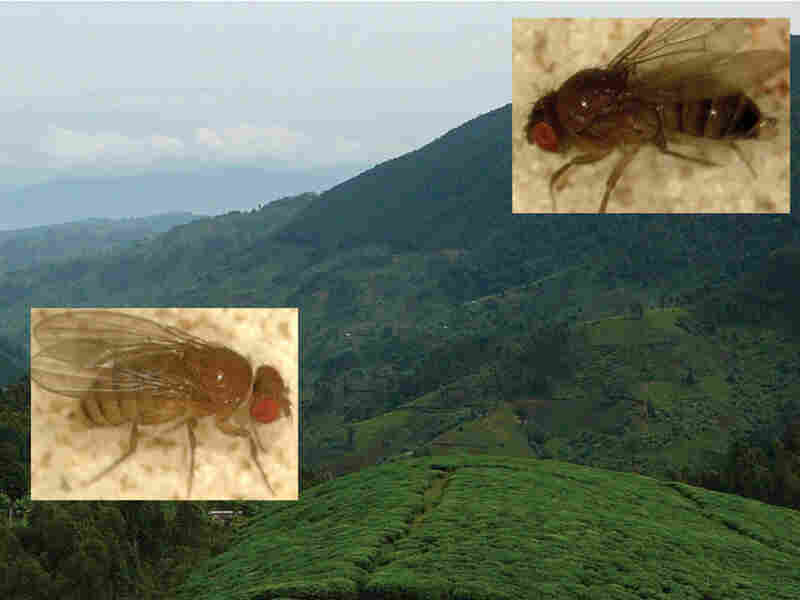 Two flies of different colors superimposed on a backdrop of a Rwandan landscape.