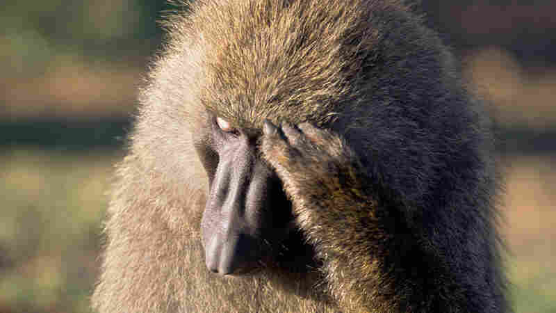 Male olive baboon looking pensive