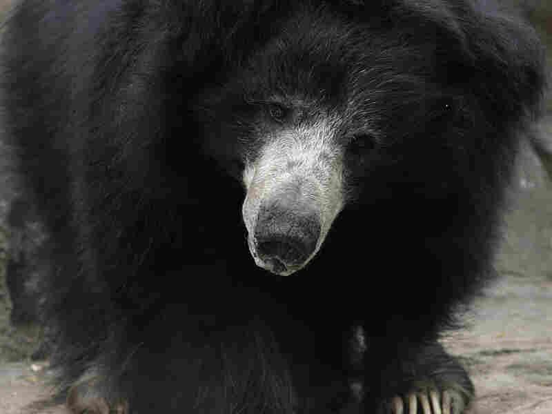 Merlin, Smithsonian's National Zoo's senior male sloth bear, died in 2009.