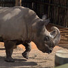 Sudan, an endangered northern white rhinoceros, explores his pen.