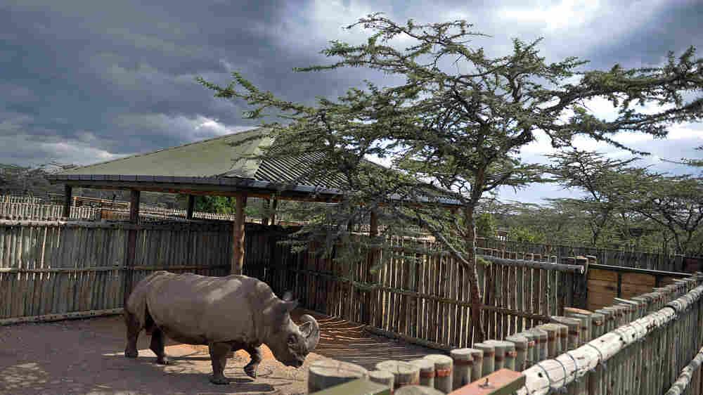 Sudan, an endangered northern white rhinoceros, explores his pen.