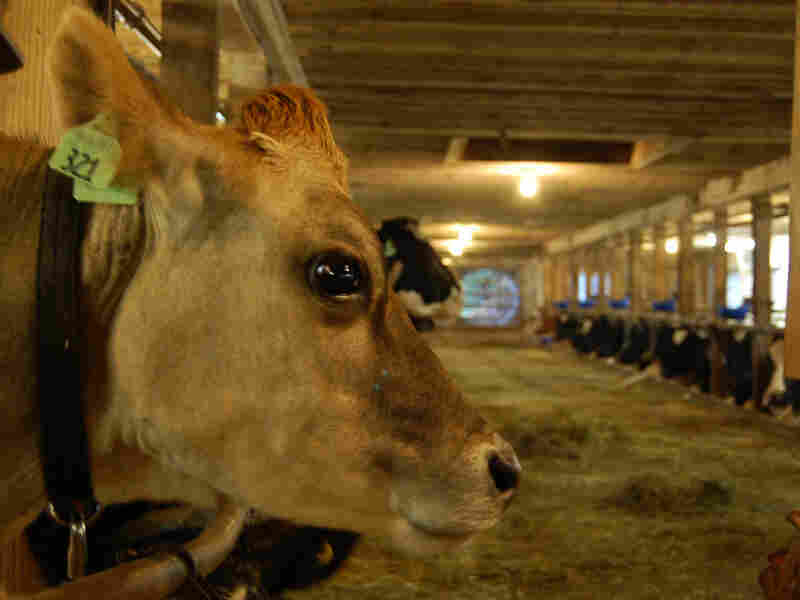 A cow in the barn during morning milking.