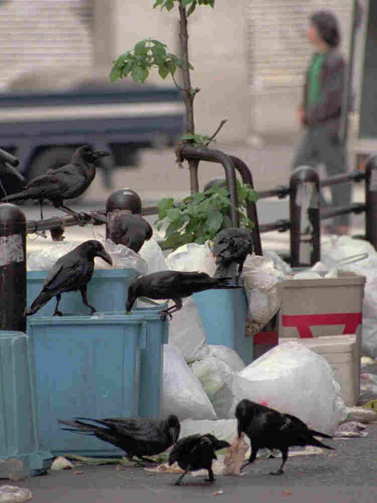 C: Crows scavenge through bags of garbage in an alley of Tokyo's Ikebukuro entertainment district.