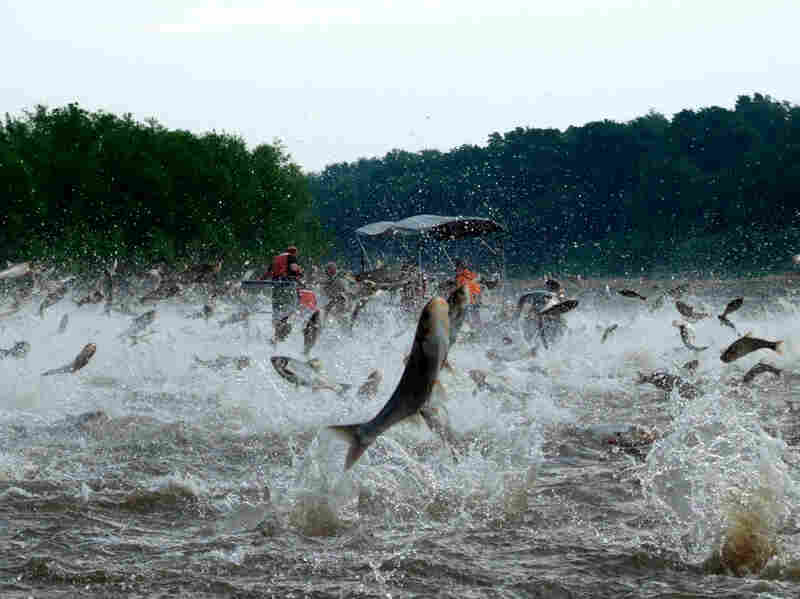 Silver carp jump out of the Illinois River.