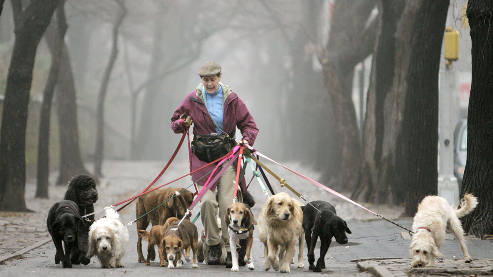 Even In Recession Dog Walkers Hands Are Full Npr