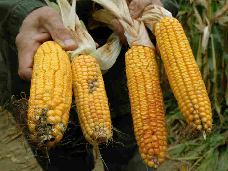 A farmer displays two corncobs from bioengineered seed (right) and two non-GMO corncobs.