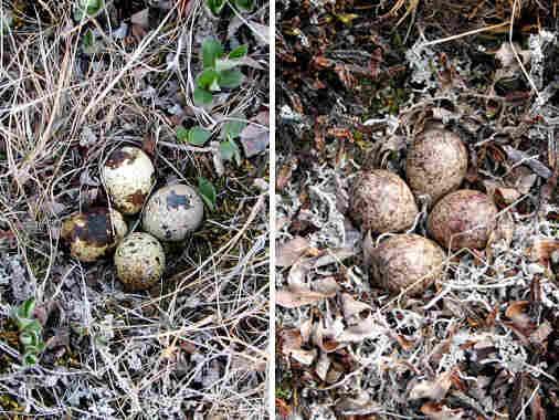 A Baird's sandpiper nest (left), next to an artificial nest (right).