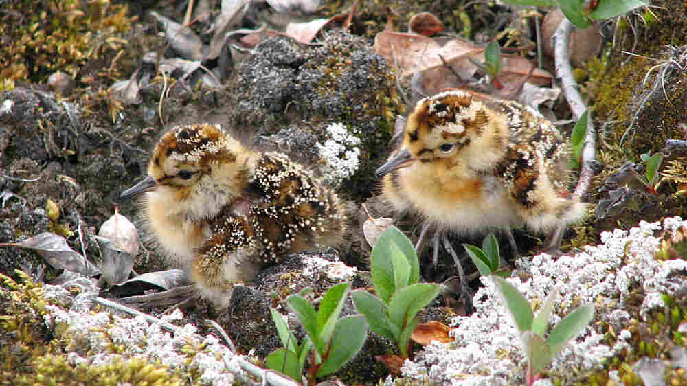 White-rumped sandpiper chicks on northern Canada's Bylot Island.