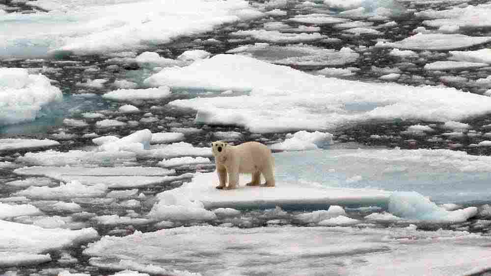 A polar bear stands among pieces of ice floating in the sea