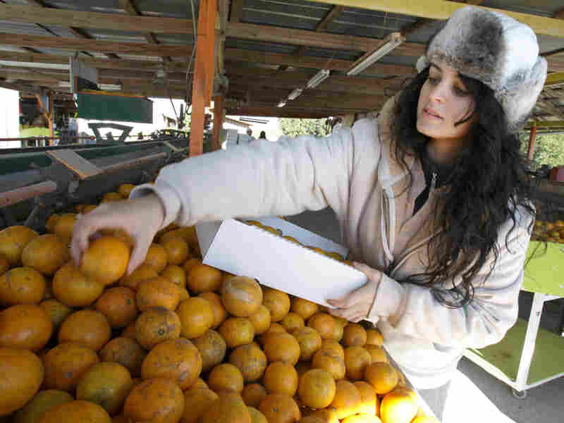 A citrus worker packs oranges. John Raoux/AP