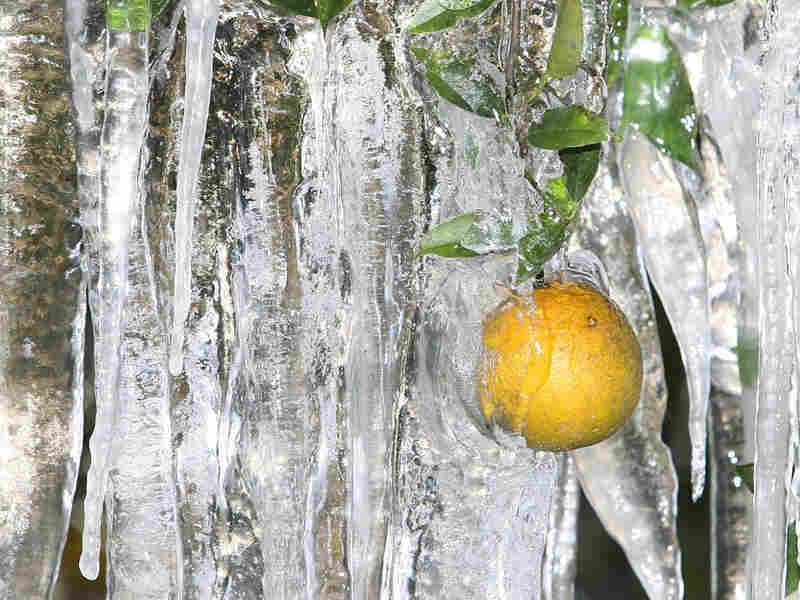 An orange encrusted in ice. Red Huber/Orlando Sentinel/AP