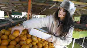 A citrus worker packs oranges. John Raoux/AP