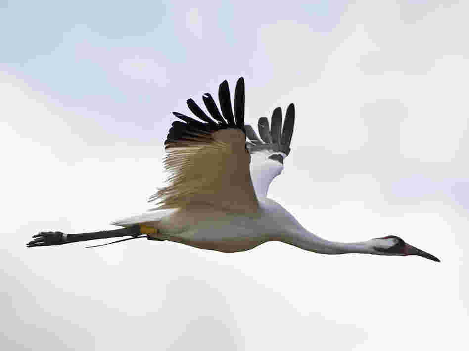 A whooping crane in flight