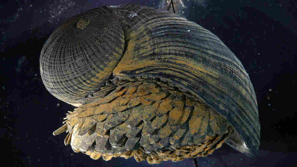 Crysomallon squamiferum is a creature with a superstrong shell.