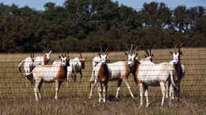 The Bamberger Ranch Preserve is home to 60 of the endangered Scimitar-Horned Oryx.