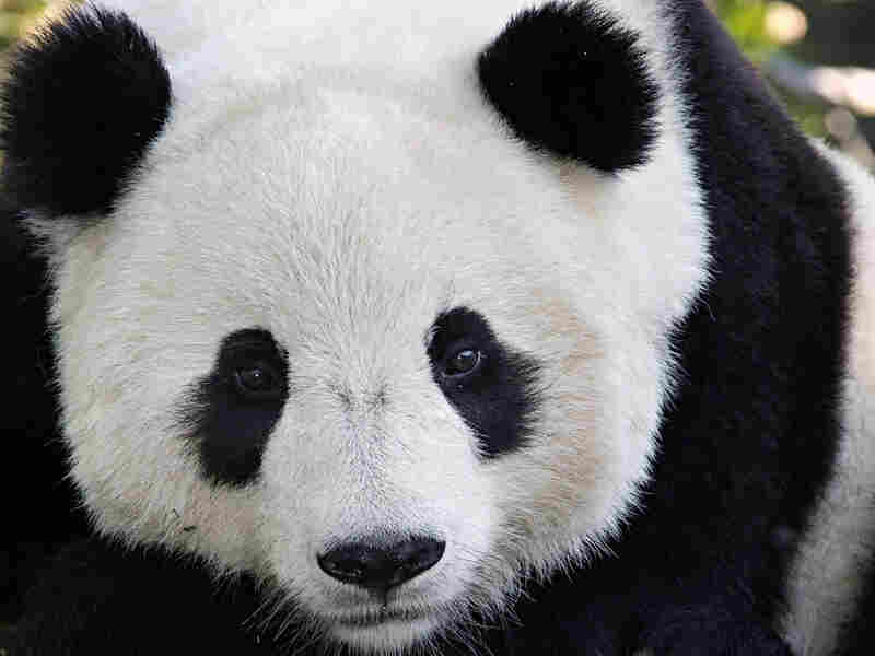 No longer the size of a stick of butter, Tai Shan now weighs 185 pounds.
