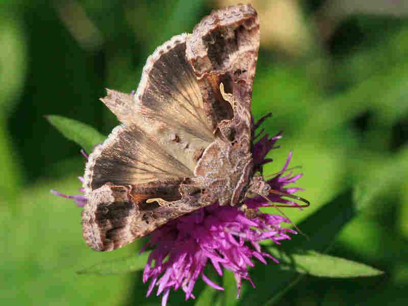 The migrant moth Autographa gamma