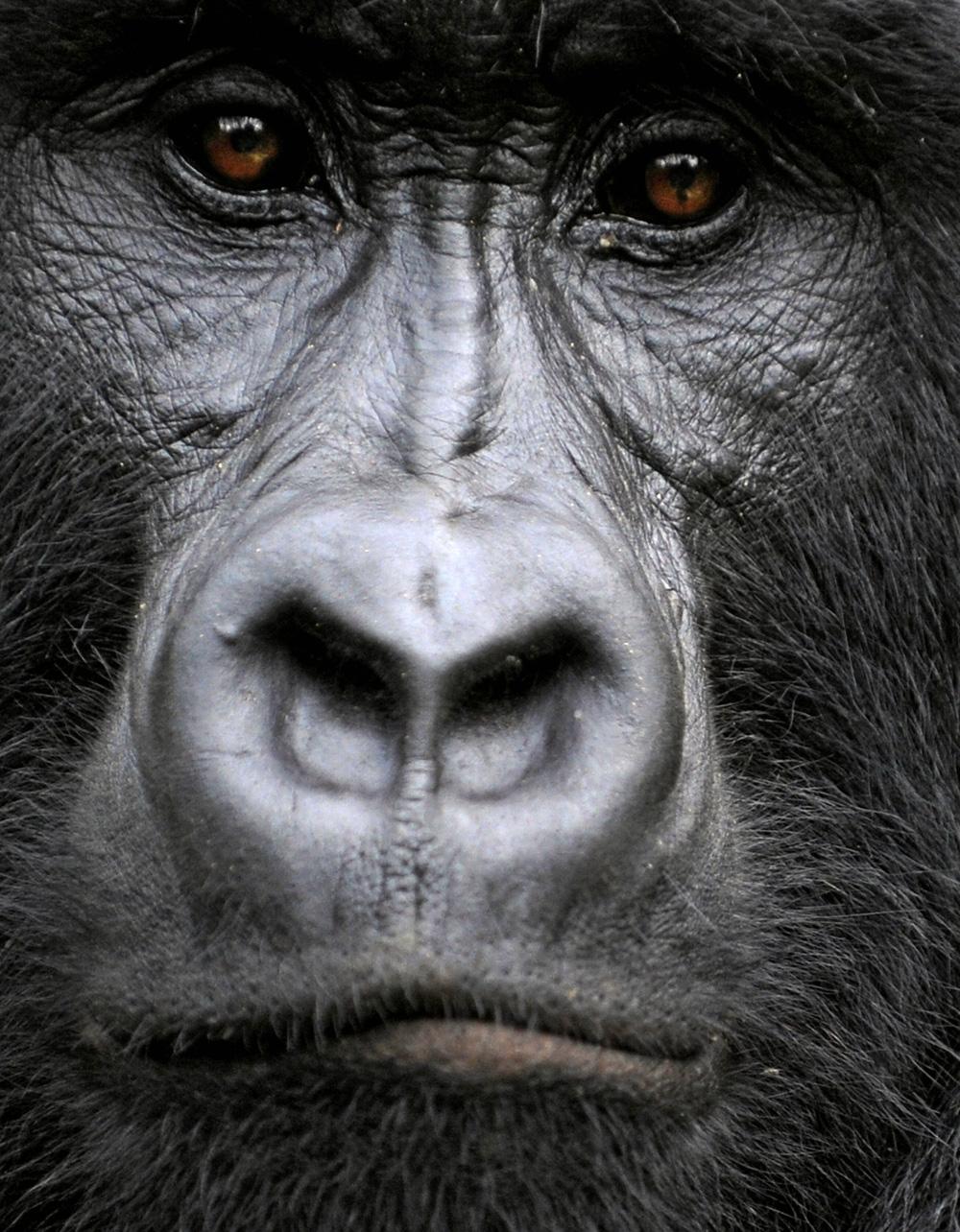 Npr Gorilla