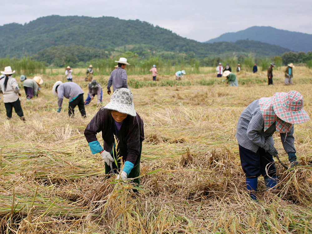 Thai farmers cultivate rice near Chiang Saen, near the Mekong River.