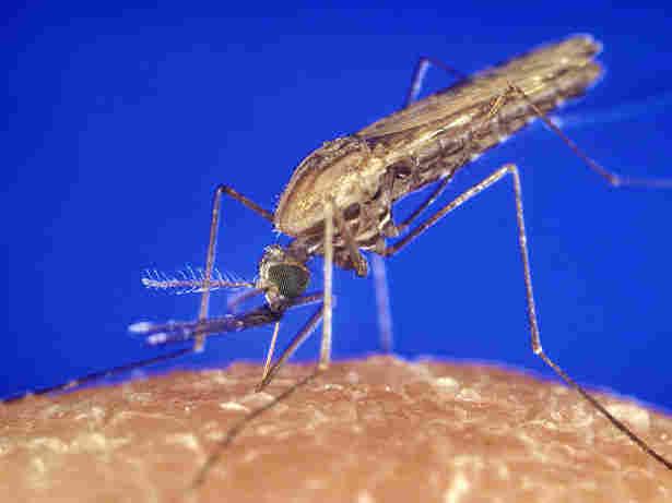 An Anopheles gambiae mosquito feeding.
