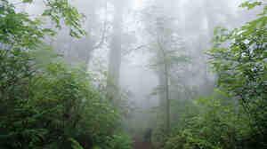 Redwoods in Redwood National Park, Calif.