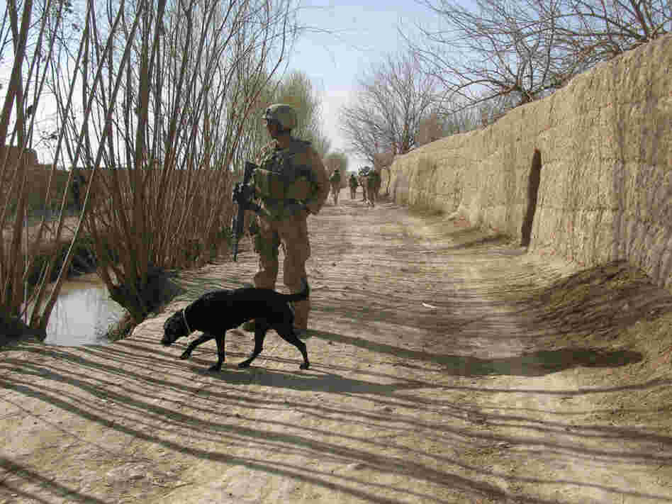 Sally, a bomb-sniffing dog, assists Marines in the search for IEDs during their offensive in Marjah
