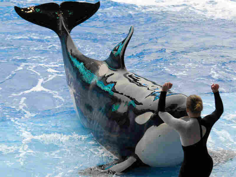 Orca and trainer at SeaWorld