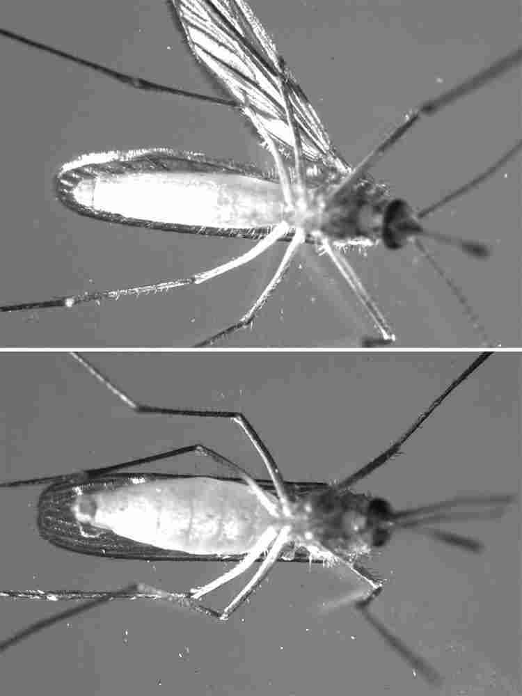 A composite of a nondiapausing mosquito (top) and a diapausing mosquito (bottom).