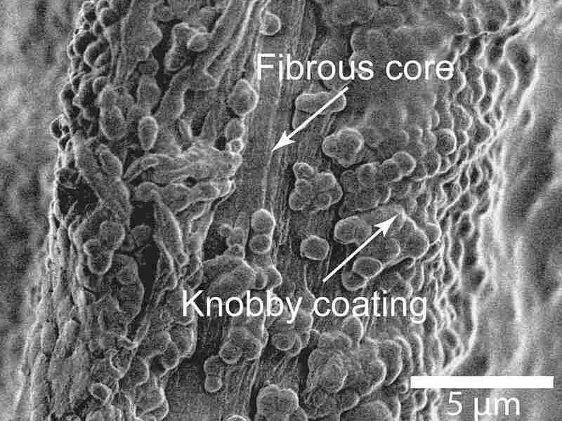 Byssal thread under a microscope