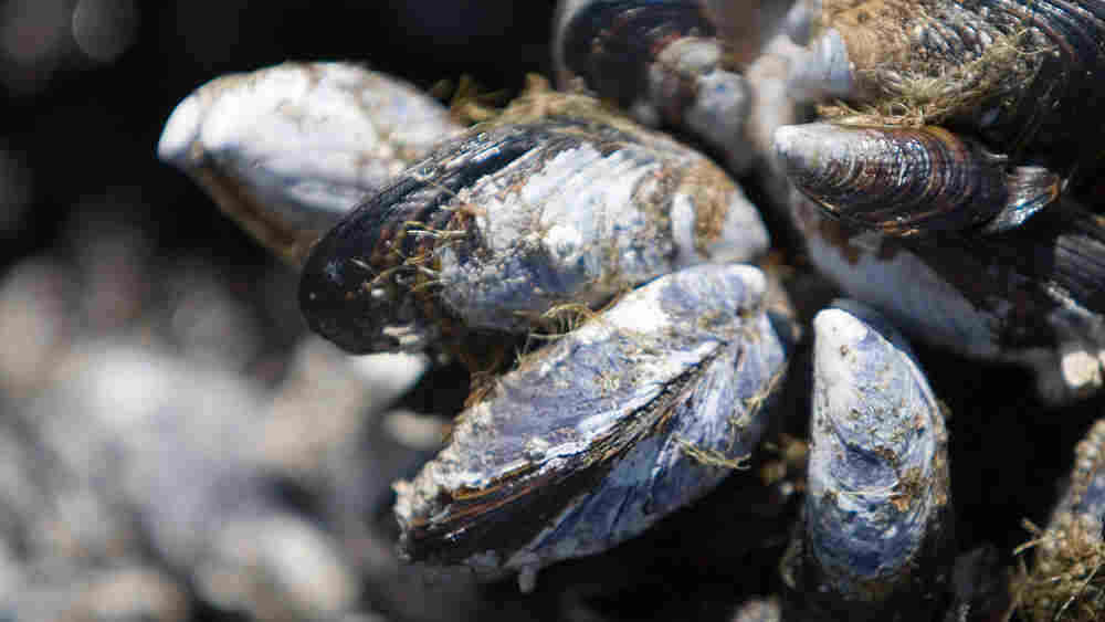 Mussels with visible byssal threads
