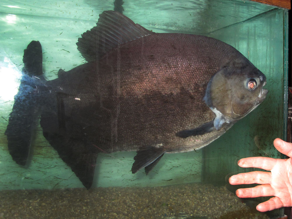 Buttkiss the black pacu may be oldest fish in new york npr for Longest living fish