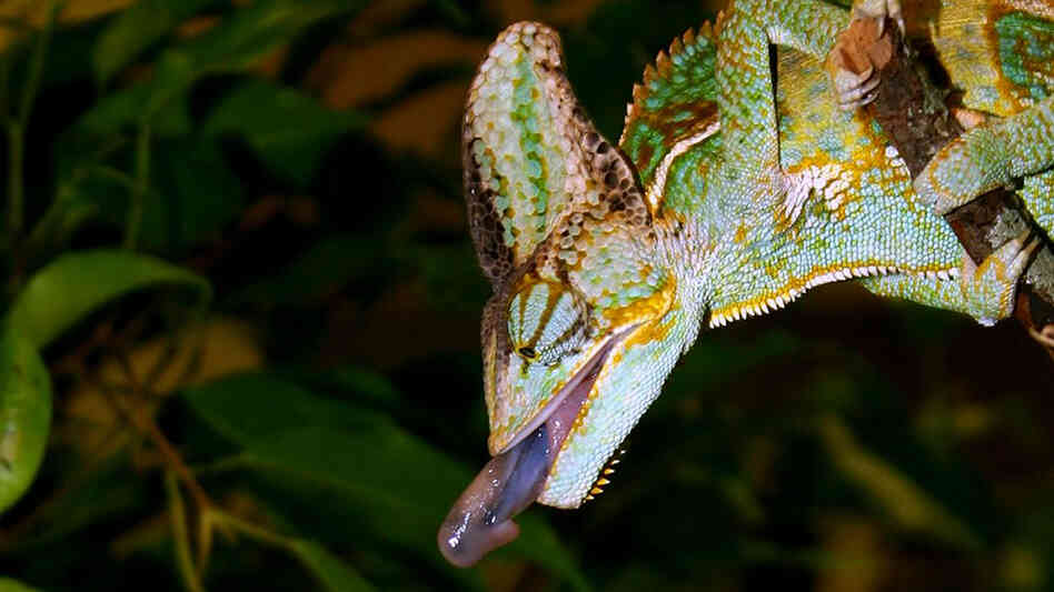 A chameleon launches its tongue at an insect.