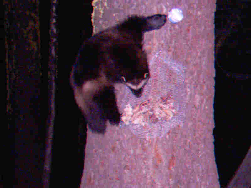They're actually the largest members of the weasel family, Shufelberger said.