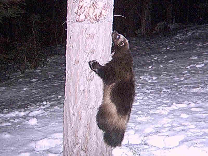 Buddy climbs a tree.