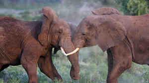 African elephants at the Masai Mara Game Reserve in Kenya.