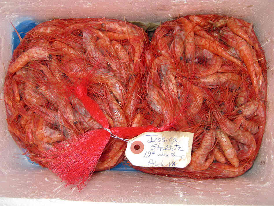 Fresh Maine shrimp in red mesh bags in a styrofoam cooler