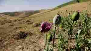 An illegal crop of poppies stands out from a newly harvested crop of wheat in Badakhshan province.