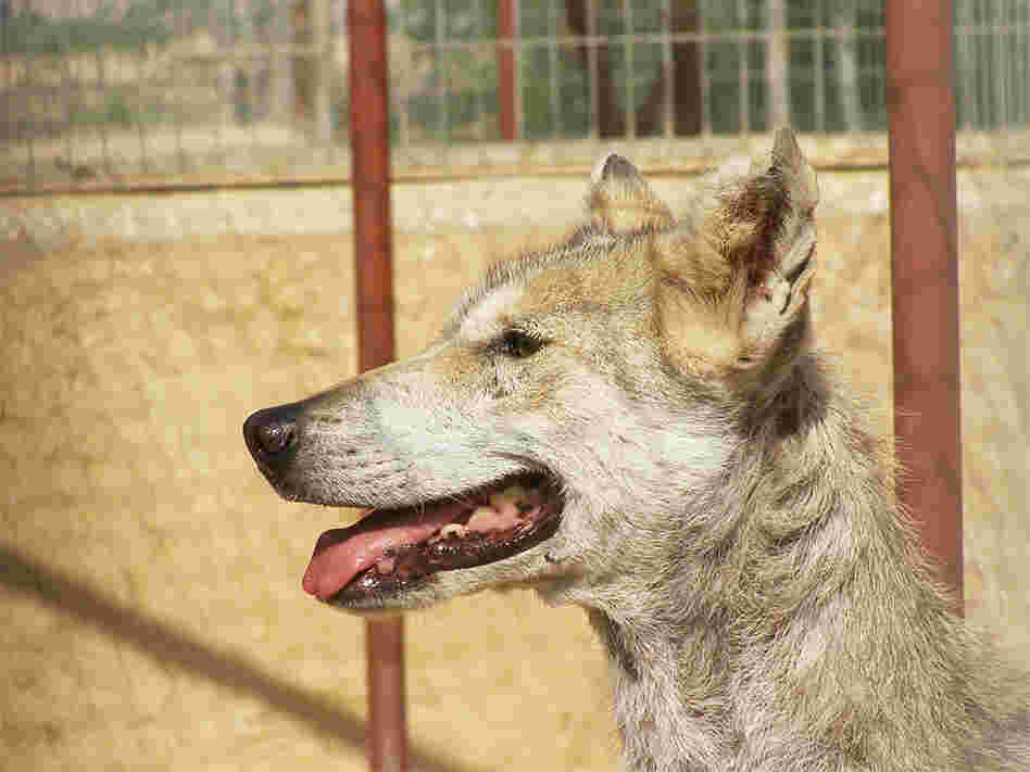 A Middle Eastern Gray Wolf