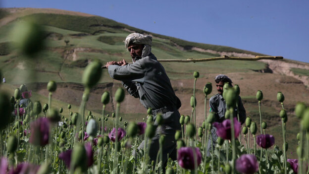 Police officers from the district of Argu swing away with long sticks to eradicate a patch of illegally grown poppies in the Badakhshan province of Afghanistan. The opium trade is a key source of funding for the Taliban — but counterterrorism experts say it will take more than shutting down opium production to crack the Taliban's finances. (AP)