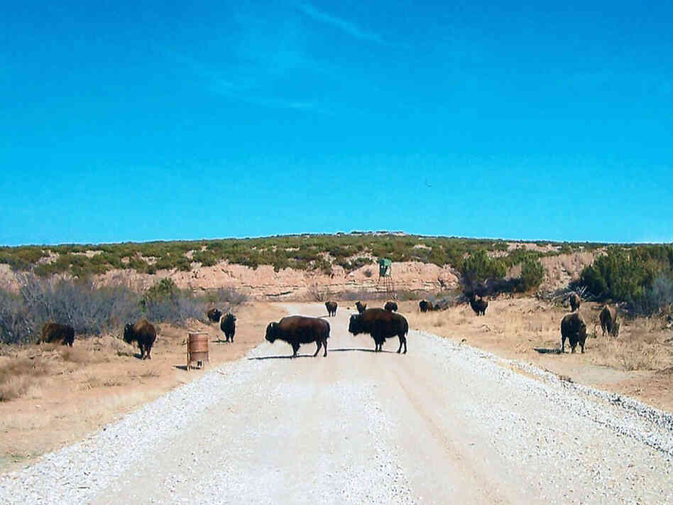 Buffalo roam the QB Ranch in West Texas