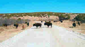 Buffalo roaming on the QB Ranch in West Texas.