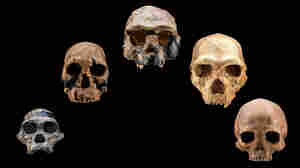 Five fossil human skulls over a 2.5 million year span